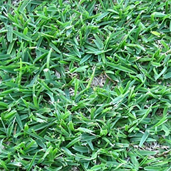 Atlanta Zoysia Zoysia Grass Atlanta Zoysia Sod